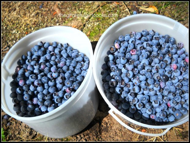 Fresh picked blueberries are perfect for making pancakes!