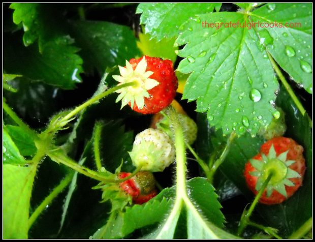 Fresh strawberries growing in our backyard garden can be used to make a strawberry smoothie!