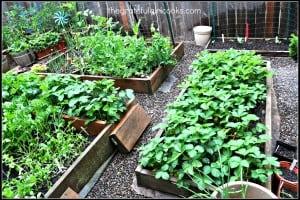 Veggie Garden 2014-5