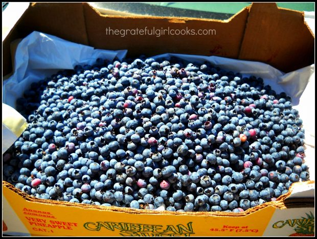 Fresh picked blueberries - some will be used to make blueberry jam!