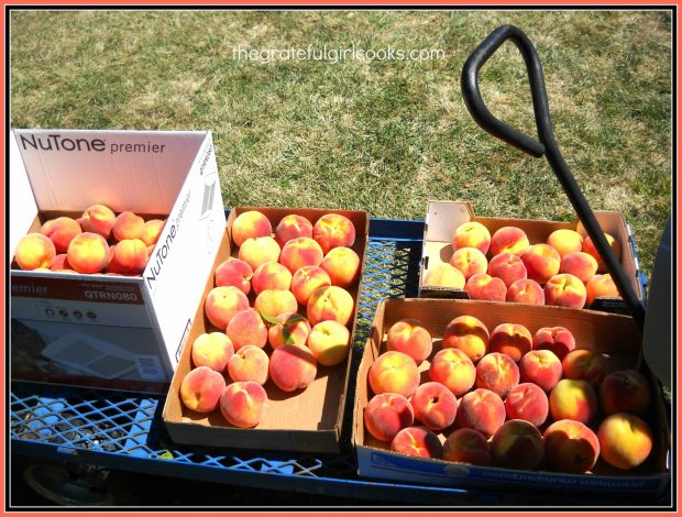 Lots of fresh peaches, picked and ready to make a peach crisp!
