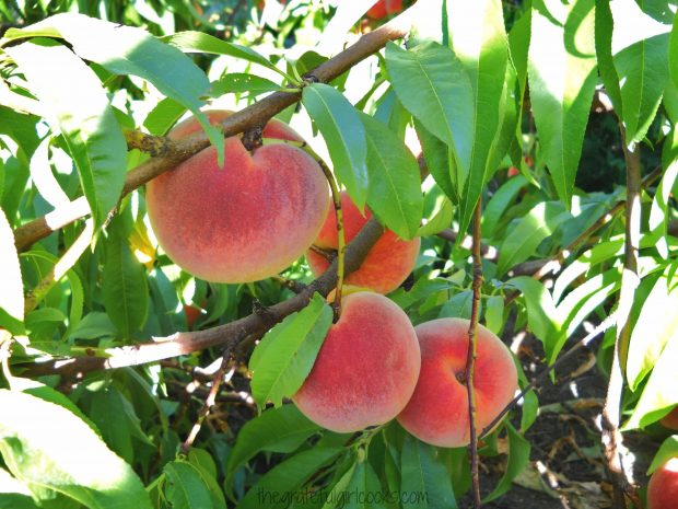 Fresh peaches on the tree... ready for me to pick them to make ice cream and pies!
