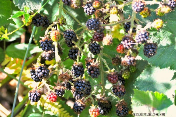 Blackberries growing in our backyard - perfect for scones!
