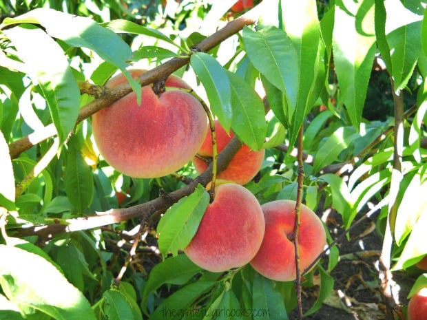 Ripe peaches on a tree, waiting to be picked to make jam