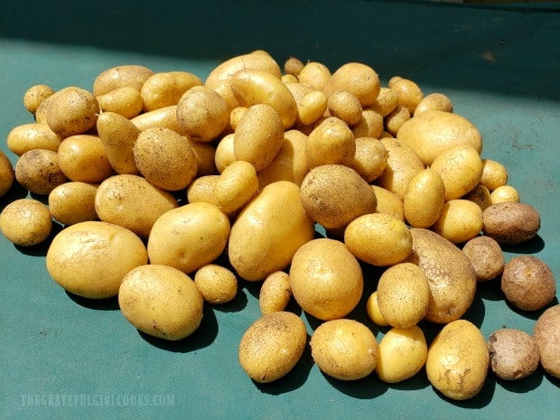 German butterball potatoes, harvested from our little backyard garden.