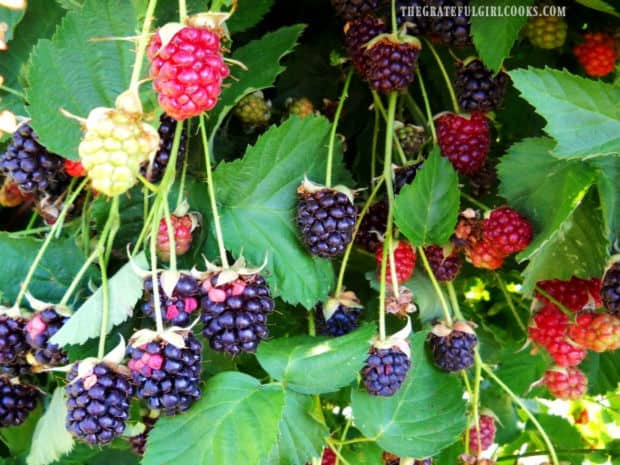 Blackberries growing over our back fence.
